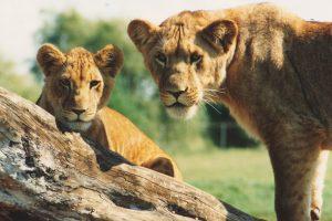 "African Lion Safari Celebrates Two ""Big"" Birthdays!"