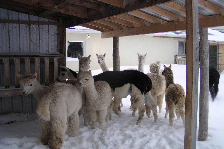 Alpacas From Eighth & Mud