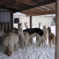 Alpacas From Eighth & Mud
