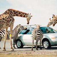 African Lion Safari Getaway Package-Hilton Hamilton
