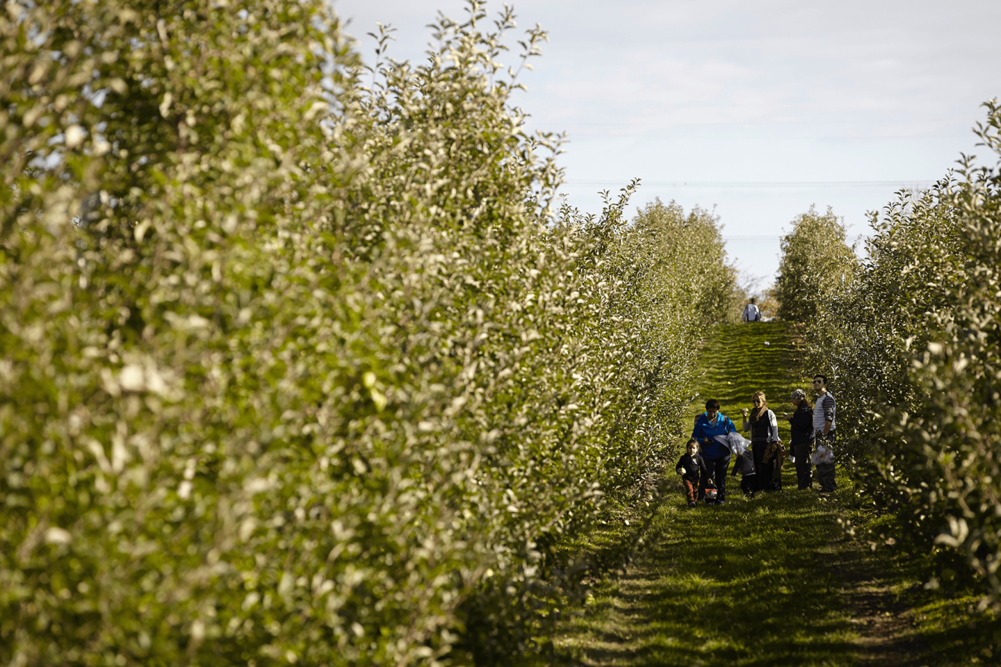 Apple Picking At Chudleigh's Farm