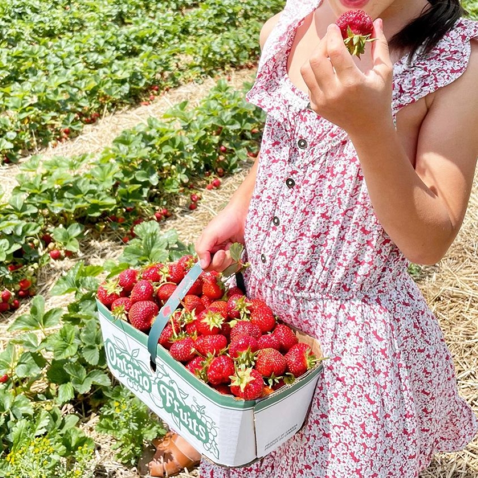 PYO Strawberries at Brantwood Farms